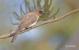 Grauwe buulbuul - Common Bulbul - Pycnonotus barbatus