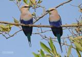 Blauwbuikscharrelaar - Blue-bellied Roller - Coracias cyanogaster