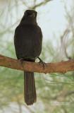 Senegalese drongovliegenvanger - Northern black flycatcher - Melaenornis edolioides