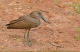 Hamerkop; Scopus umbretta
