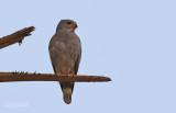 Hagedisbuizerd - Lizard Buzzard - Kaupifalco monogrammicus