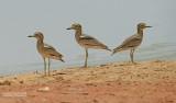 Senegalgriel - Senegal Thick-knee - Burhinus senegalensis
