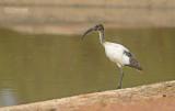 Heilige Ibis - Sacred Ibis - Threskiornis Aethiopicus