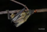Gambiaanse epaulettenvleerhond - Gambian epauletted fruit bat - Epomophorus gambianus