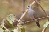 Zwartsnavelduif - Black-billed Wood Dove - Turtur abyssinicus