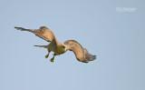 Geelsnavel wouw - Yellow billed kite - Milvus migrans parasitus