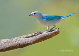 Bisschopstangare - Blue-grey Tanager - Thraupis episcopus