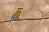 Zwaluwstaartbijeneter - Swallow-tailed Bee-eater - Merops hirundineus