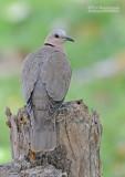 Roodoogtortel - Red-eyed Dove - Streptopelia semitorquata