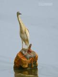 Ralreiger - Squacco Heron, Ardeola ralloides