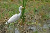 Middelste Zilverreiger - Intermediate Egret - Mesophoyx intermedia