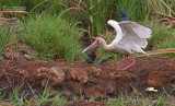 Afrikaanse lepelaar - African spoonbill - Platalea alba