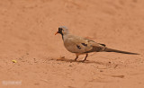 Maskerduif - Namaqua dove - Oena capensis