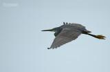 Rifreiger - Western reef egret - Egretta gularis