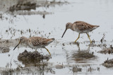 Short-billed and Long-billed Dowitcher??