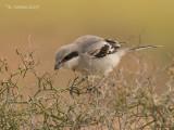 Canarische Woestijnklapekster - Canarian Gray Shrike - Lanius meridionalis koenigi