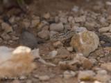 Oost-Canarische Gekko - East Canary Gekko - Tarentola angustimentalis