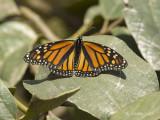 Monarchvlinder - Monarch - Danaus plexippus