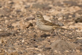Berthelots Pieper - Berthelot's Pipit - Anthus berthelotii