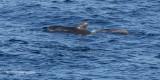 Indische Griend - Short-finned Pilot Whale - Globicephala macrorhynchus