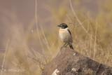 Canarische Roodborsttapuit - Fuerteventura Stonechat - Saxicola dacotiae