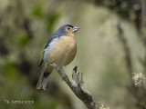 Vink - Common Chaffinch - Fringilla coelebs