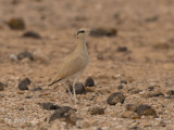 Renvogel - Cream-coloured Courser - Cursorius cursor