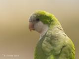 Monniksparkiet - Monk Parakeet - Myiopsitta monachus