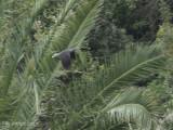 Laurierduif - Laurel Pigeon - Columba junoniae