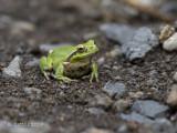 Streeploze Boomkikker - Stripeless Tree Frog - Hyla meridionalis