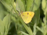 Oranje Luzernevlinder- Common Clouded Yellow - Colias croceus