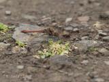 Eilandheidelibel - Sympetrum (striolatum) nigrifemur