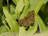 Canarisch Bont Zandoogje - Canary Speckled Wood - Pararge xiphioides