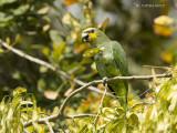 Geelvoorhoofdamazone - Yellow-crowned Parrot - Amazona ochrocephala