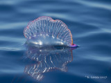Portugees Oorlogsschip - Portuguese Man O' War - Physalia physalis