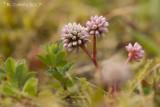 Kogelduizendknoop - Pinkhead Smartweed - Persicaria capitata