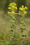 Kleverige ogentroost - Yellow Glandweed - Parentucellia viscosa