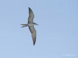 Brilstern - Bridled Tern