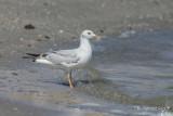 Dunbekmeeuw - Slender-billed Gull - Chroicocephalus genei