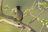 Arabische Buulbuul - White-spectacled Bulbul - Pycnonotus xanthopygos