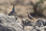 Arabische Steenpatrijs - Arabian Partridge