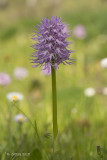 Italiaanse Orchis - Naked Man Orchid - Orchis italica