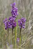 Harlekijnorchis - Green-winged Orchid - Anacamptis morio