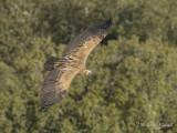 Vale Gier - Eurasian Griffon Vulture