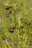Spiegelorchis - Ophrys speculum