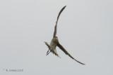 Steppevorkstaartplevier - Black-winged Pratincole - Glareola nordmanni