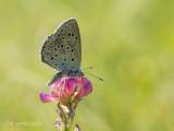 Tijmblauwtje - Large Blue - Phengaris arion