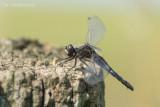 Sierlijke Witsnuitlibel - Lilypad Whiteface - Leucorrhinia caudalis