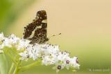 Landkaartje - Map Butterfly - Araschnia levana