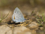 Staartblauwtje - Short-tailed Blue - Cupido argiades